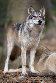 Wolf by Thomas Krüger*