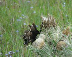 Butterflies love thistle!