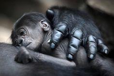 gorillas with babies | Gorillas Im Frankfurter Zoo: Nach zwei Fehlgeburten ein gesundes Baby ...