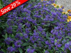 Caryopteris Is A Flowering Shrub Blooming Over 8 Weeks In The Perennial Garden Grand