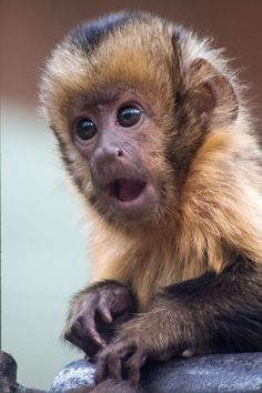 Baby Capuchin Monkey: what's that Fadwa? You haven't won ANY awards?