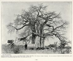 Cream-of-Tartar Tree | South Africa by The National Archives UK