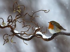 Winter FlightPhotograph by Tommy Eliasson http://photography.nationalgeographic.com/photography/photo-of-the-day/snowy-robin-sweden/