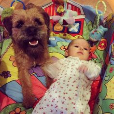 tag baxter365 1387584430 Border Terrier, Little Brown, Brown Dog, Face, Dogs, Pet Dogs, The Face, Doggies, Faces