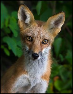 A Young Red Fox's Inquisitive Look.