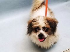 OTTO - 20873 - - Brooklyn  TO BE DESTROYED 03/03/18 **NEW HOPE RESCUE ONLY** -  Click for info & Current Status: http://nycdogs.urgentpodr.org/otto-20873/