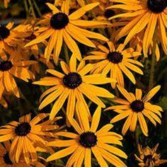 Flower Seeds Yellow Black-eyed Susan Organic Flowers Rudbeckia Hirta Seed