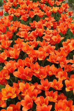 First tulips in Arboretum
