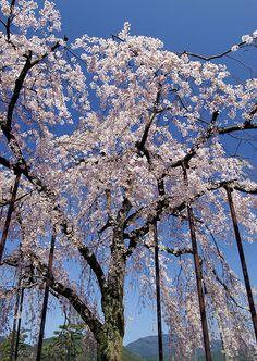 sakura #japan #kyoto #arashiyama