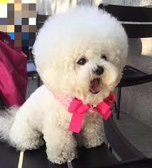 Image result for bichon haircut