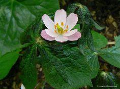 Podophyllum hexandrum Himalayan Mayapple SOLD OUT