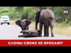 Слоны своих не бросают | Herd of Elephants Help an Elephant Calf (видео ...
