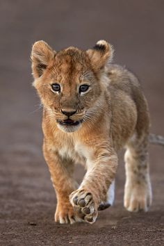 Lion cub - 'Big feet require big steps' by Austin Thomas on Cute Cats And Kittens, Big Cats, Beautiful Cats, Animals Beautiful, Cute Baby Animals, Funny Animals, Wild Animals, Gato Grande, Cute Lion