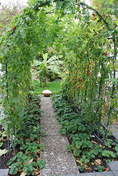 Tomates grimpantes en fin de  saison et fraisiers en début de saison