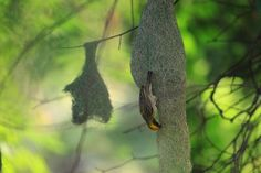 Baya weaver bird Photo by Raman Oza — National Geographic Your Shot
