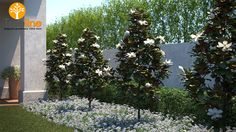 magnolia grandiflora little gem - Google Search