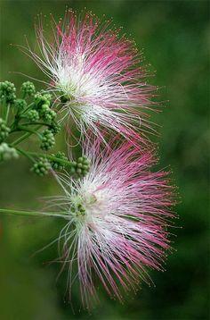 O minunăție de copac aș putea spune. Niște flori despre care poți spune că sunt chiar de mătase. L-am avut în grădină, pus de mama.Mimosa sau arborele de mătase este un arbore orgamental cu creşte…