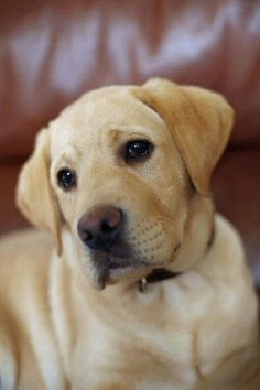 "Awesome ""lab puppies"" info is offered on our web pages. Have a look and you wont be sorry you did Baby Dogs, Pet Dogs, Dog Cat, Doggies, Really Cute Dogs, Lab Puppies, Retriever Puppies, Labrador Retrievers, Schaefer"