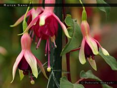 Fuchsia Roter Sand - single upright -- FuchsiaFinder is a searchable fuchsia flower database. The database has more than 15.000 cultivars .