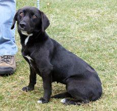 beagle lab mix puppy pictures | Mia the Beagle Mix ... Beagle Boxer Mix Full Grown