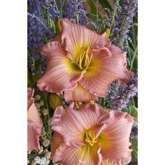 Daylily Pink Abundance