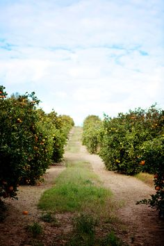 Orange groves..I grew up surrounded by them. There's nothing like the sweet smell of orange blossoms floating through your open bedroom windows. SB