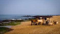 https://weather.com/photos/places/news/2014-09-11-strangest-beaches-world-20130513?cm_ven=email  Anjuna Beach (Cow Beach)