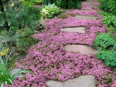 Live Mulch -- How to plant Sweet and Low flowering ground cover....funny and good info