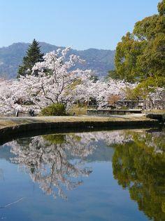 大沢池:池畔の桜