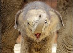 Baby elephant <3 is there anything cuter??