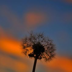 dandelion is an interpretation of the original French word for the flower dent de lion meaning lions tooth. #Dandelion #flower #sunset #wish #silhouette #yourtake