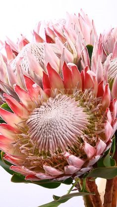 Protea Cynaroides Botanical Flowers, Exotic Flowers, Tropical Flowers, Beautiful Flowers, Protea Art, Protea Flower, Rose Flowers, Australian Plants, Floral Illustrations