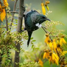 Tui (Prosthemadera novaeseelandiae) in a Kowhai Tree Reptiles And Amphibians, Mammals, Tui Bird, Thinking In Pictures, Nz Art, Kiwiana, Wild Creatures, Prehistoric Creatures, Watercolor Animals