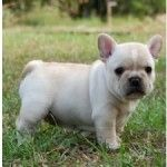 frenchie puppy :)