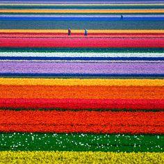 20 lugares increíbles que no parecen ser reales - Campos de Tulipanes – Holanda