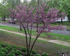 Eastern redbud is a beautiful tree in the northern garden with its long and lovely bloom period. But with cold weather we wonder: will the redbuds bloom? Cold Climate Gardening, Spring Flowering Trees, Iris Reticulata, International Falls, How Much Snow, Eastern Redbud, Minnesota Landscaping, Spring Landscape, One Tree