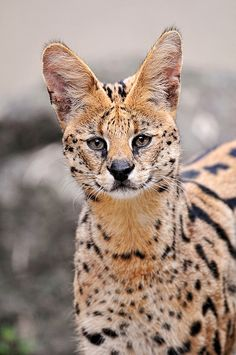 Beautiful spotted serval, a medium-sized wildcat from Africa. (Tambako the jaguar Big Cats, Cool Cats, Cats And Kittens, Beautiful Cats, Animals Beautiful, Animals And Pets, Cute Animals, Wild Animals, Zoo Animals