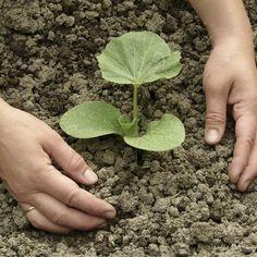 Den leckeren Hokkaido-Kürbis können Sie auch selber in Ihrem Garten anpflanzen. Wie und wann Sie ihn aussäen und Tipps zu Standort und Pflege finden Sie hier.