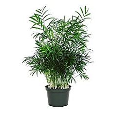 Best Plants For Your Bedroom That Can Improve Sleep Quality And Treat Insomnia -… – Modern Design - Modern Plants That Love Shade, Perfect Plants, Indoor Plants Low Light, Best Indoor Plants, Ivy Plants, Cool Plants, Potted Plants, Palm Plant, Trees To Plant
