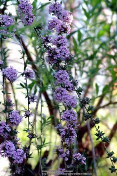 Photo of Fountain Butterfly Bush (Buddleja alternifolia) uploaded by treehugger