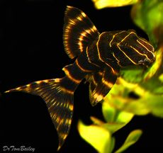 "Premium Emperor Pleco, also called the Flash Pleco, 2.5"" to 3"" long Tropical Freshwater Fish, Tropical Fish Aquarium, Freshwater Aquarium Fish, Tropical Fish Tanks, Pretty Fish, Cool Fish, Beautiful Fish, Pleco Fish, Plecostomus"