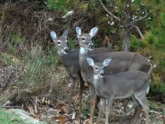 """""""Chesterfield Deer Family"""" (Chesterfield County) by Walter Kimpfler, featured in the Richmond Times-Dispatch on November 20. Fun Fact: This is a 2016 Virginia Vistas Photo Contest Honorable Mention winner in our Vistas with Wildlife Category. ENJOY!! #VirginiaVistas"""