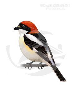 ALCAUDÓN. Ave de tamaño medio, 17-19 cm de longitud y unos 38 g de masa. Los adultos presentan un píleo y nuca de tonos naranjas o rojizos, con un antifaz negro que les cruza los ojos.