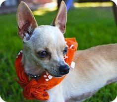 Los Angeles, CA - Chihuahua. Meet Kisses - 5 lbs! a Dog for Adoption.