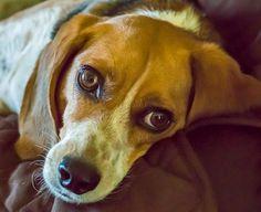Dexter the Beagle dog | Wandering Ways Photography | Amy September 2017