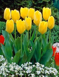 Tulip Tulipa Fosteriana Yellow Emperor from Netherland Bulb
