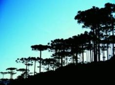 Mirante das Araucárias - São Joaquim