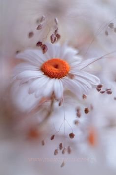 ~~The softness ~ daisy by Magda Wasiczek~~ flowers Amazing Flowers, My Flower, Wild Flowers, Beautiful Flowers, Daisy Flowers, Beautiful Gorgeous, Beautiful Pictures, Daisy Love, Daisy Daisy