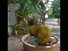 Jackfruit plant in a pot. Bonsai Fruit Tree, Dwarf Fruit Trees, Bonsai Tree Types, Fruit Plants, Bonsai Plants, Jackfruit Plant, Jackfruit Tree, Edible Garden, Growing Vegetables