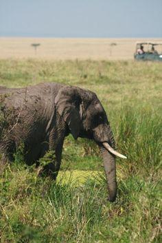 Safari in Kenya! more @ www.dianibeach-safari.com Diani Beach, Kenya, Safari, Elephant, Animals, Animales, Animaux, Elephants, Animal